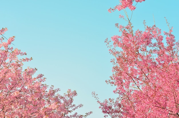 Blühender kirschbaumhintergrund im frühjahr