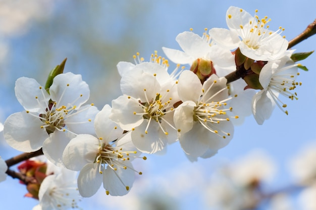 Blühender kirschbaumzweig auf blütenbaum und himmelshintergrund (zusammengesetztes makrofoto mit beträchtlicher schärfentiefe)