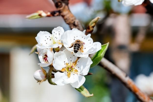 Blühender kirschfruchtbaum in moldawien