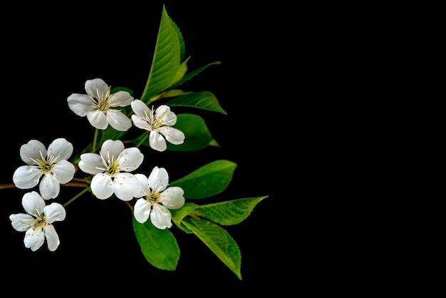Blühender kirschzweig. weiße frühlingsblumen. weinbaum in voller blüte.