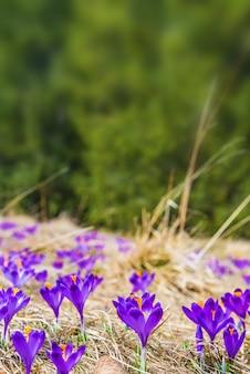 Blühender krokushintergrund