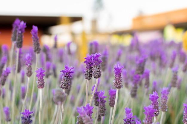 Blühender lavendel auf einem feld bei sonnenuntergang. sonnenuntergang über einem feld des violetten lavendels.
