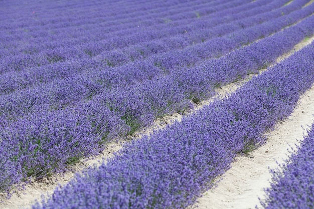 Blühender lavendel, glatte reihen zarter blüten. selektiver fokus, gestaltungselement, kopierraum. schöne verschwommene stelle auf dem hintergrund des lavendelfeldes.