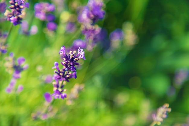 Blühender lavendel im garten. selektiver fokus. natur.