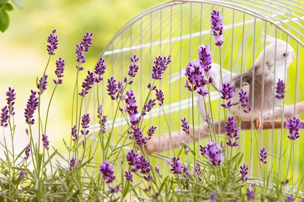 Blühender lavendel ith vogel in einem käfig.