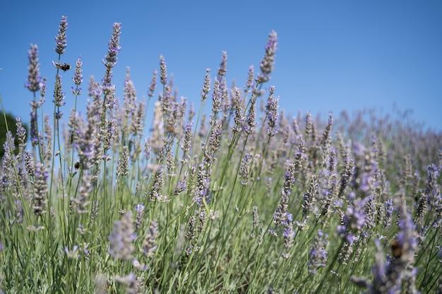 Blühender lavendel mit einer biene und einem klaren himmel