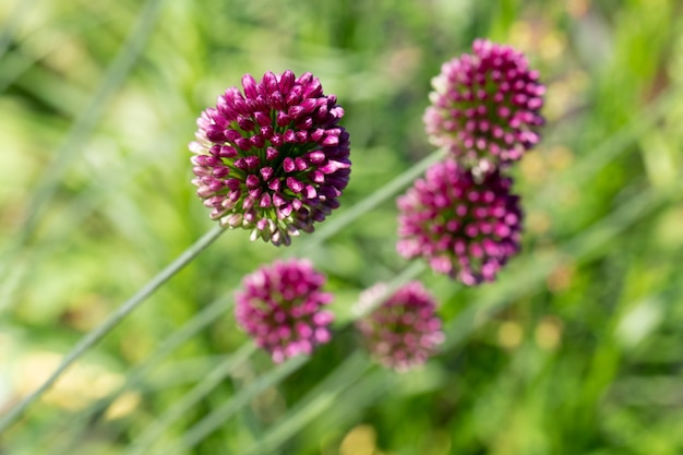 Blühender lila rundköpfiger lauch oder allium zwiebel dekorative zwiebel allium sphaerocephalon