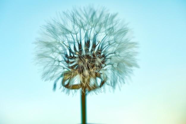Blühender löwenzahn in der natur gegen den blauen himmel.