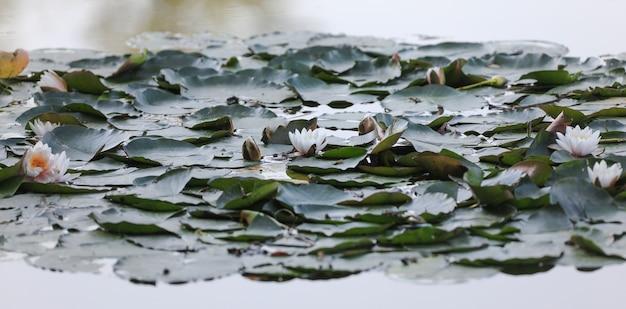 Blühender lotusstrauch mit blumen am see