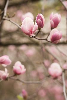 Blühender magnolienbaum mit tulpenförmigen blüten. platz für text