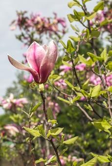 Blühender magnolienbaum nah oben, konzept der blumen und des frühlings