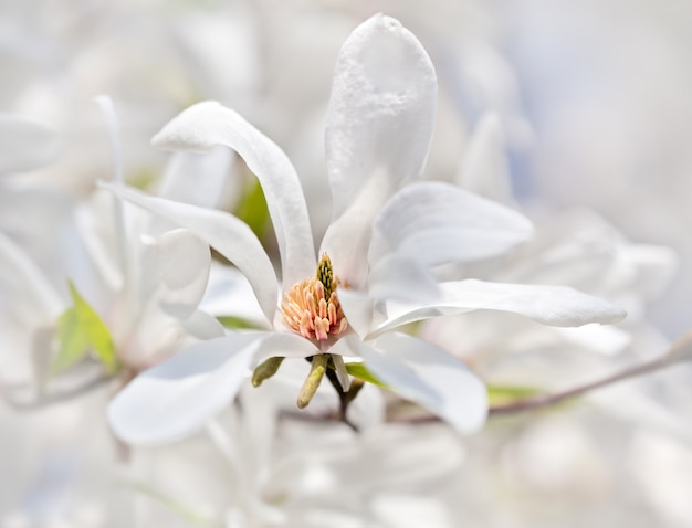 Blühender magnolienbaum