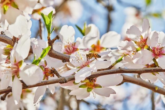 Blühender mandelbaum mit biene, die pollen von den blumen sammelt.