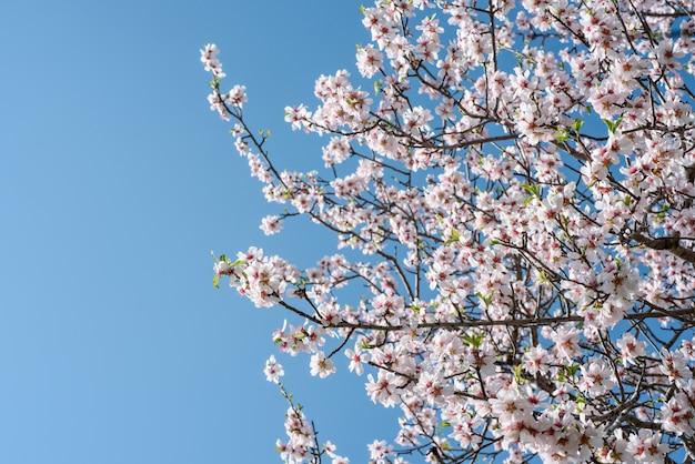 Blühender mandelbaumzweige über klarem blauem himmel mit kopienraum