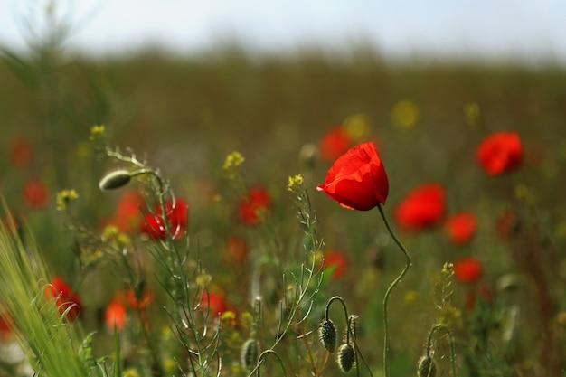 Blühender mohn im feld. schönes feld mit blühenden mohnblumen als symbol der erinnerung an krieg und anzac-tag im sommer. wildblumen mohnfeld landschaft.