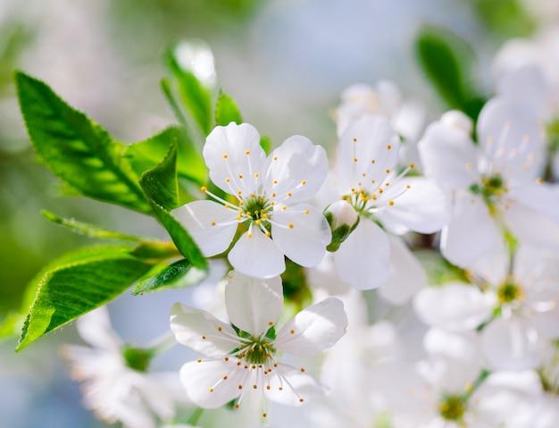 Blühender obstbaum im garten.