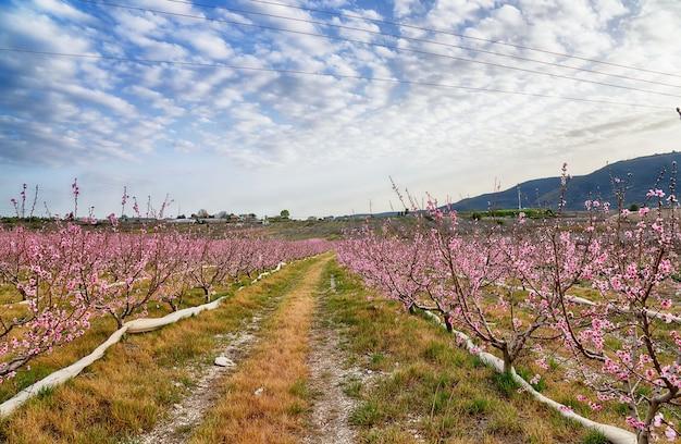Blühender pfirsichgarten in den bergen des nordens