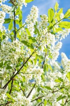 Blühender pflaumenbaum des frühlinges im blauen himmel