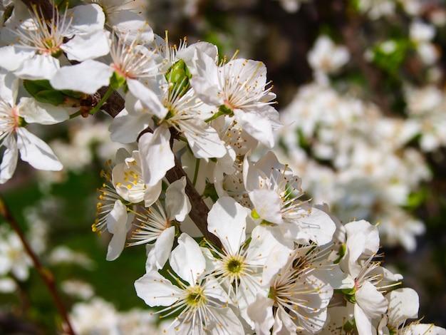 Blühender pflaumenbaum im sping.