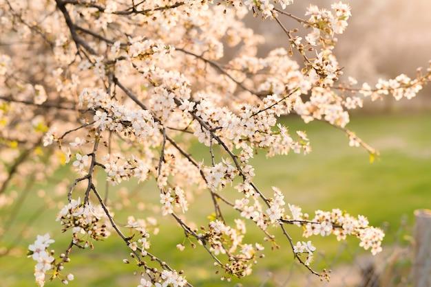 Blühender pflaumenbaumstamm mit blumen im frühling.