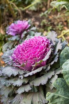 Blühender purpurkohl. pflanze des rosa und grünen dekorativen kohls, der im garten wächst, nahaufnahme in