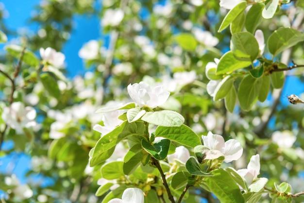 Blühender quittenbaum mit weißen blüten und grünen blättern
