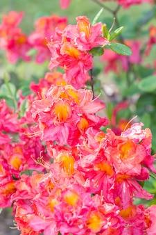 Blühender rhododendron im botanischen garten