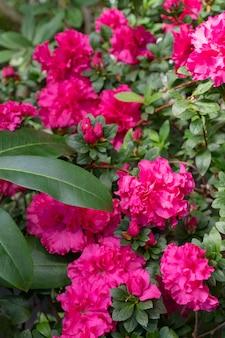 Blühender rosa rhododendron (azalee), nahaufnahme, selektiver fokus, kopienraum.