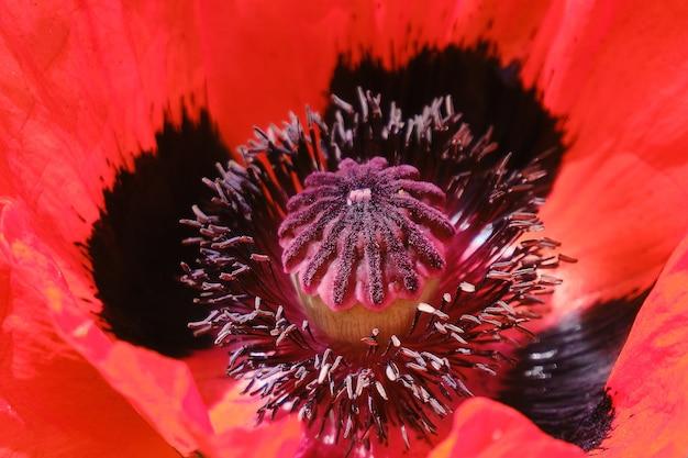 Blühender roter mohn im garten hautnah.