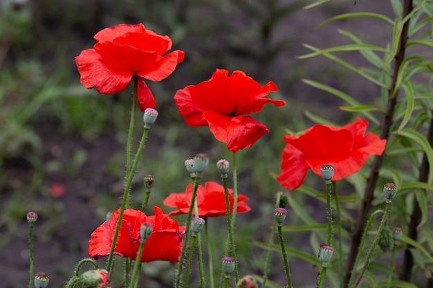 Blühender roter mohn im garten