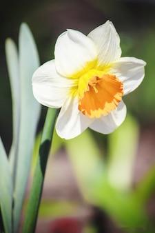 Blühender selektiver fokus der narzisse. flora und fauna.