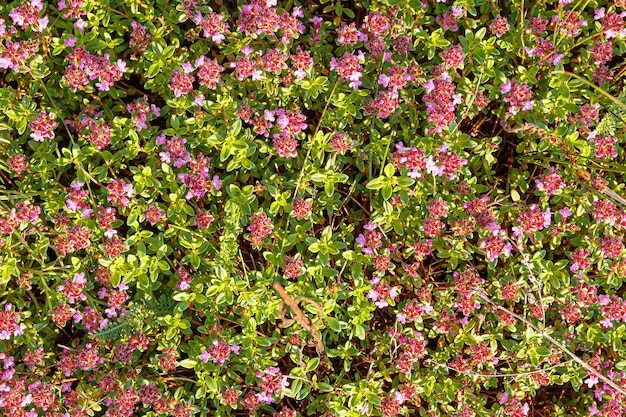Blühender thymian thymian - thymus serpyllum. bodendecker thymianpflanze für steingarten.