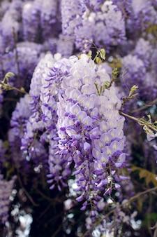 Blühender violetter glyzinienbaum im frühlingsgarten