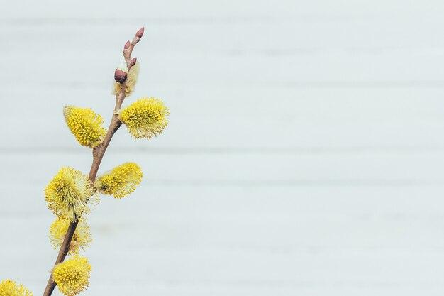 Blühender weidenbaum auf hellgrauem hintergrund mit kopienraum, frühling ostern-konzept