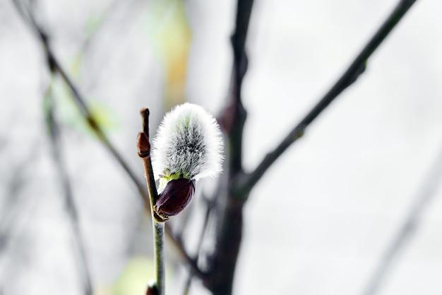 Blühender weidenkätzchenzweig auf natürlichem unscharfem hintergrund