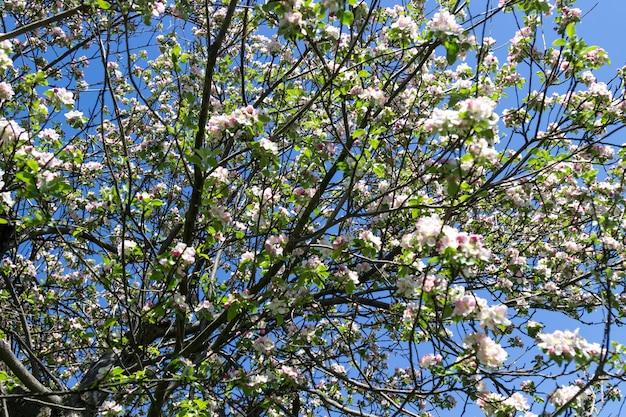 Blühender weißer apfelbaum. blauer himmel.
