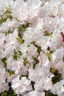Blühender weißer rhododendron (azalee), nahaufnahme, selektiver fokus, kopienraum.