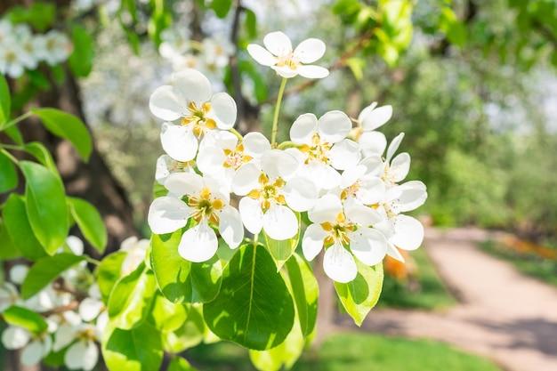 Blühender zweig der birne