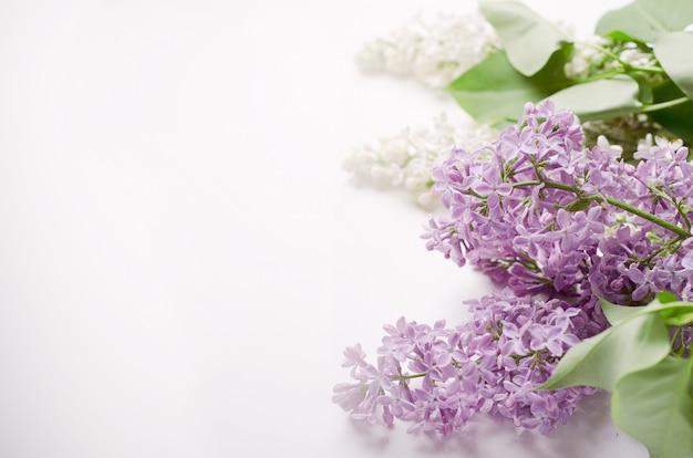Blühender zweig der weißen und purpurroten flieder auf einem weißen hintergrund. platz kopieren.