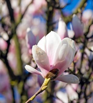 Blühender zweig des magnolienbaums (auf blütenbaumhintergrund)