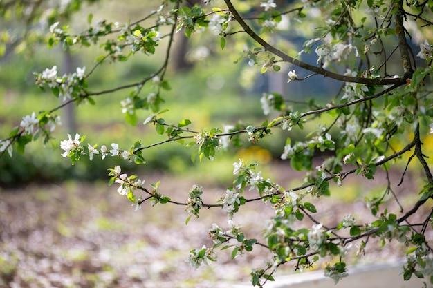 Blühender zweig des weißen apfelbaums