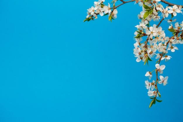 Blühender zweig mit weißer blüte auf blauem hintergrund, ein platz für text