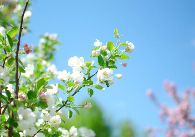 Blühender zweig von apfelblumen und knospen des apfels. zweigapfelbaum mit grünen blättern. frühling-konzept.
