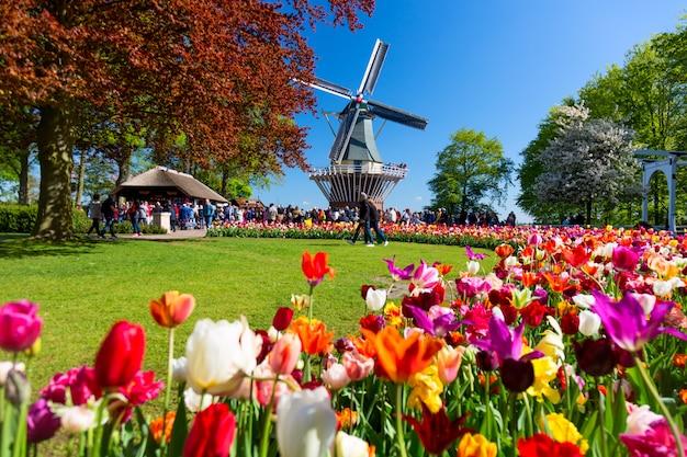 Blühendes buntes tulpenblumenbeet im öffentlichen blumengarten mit windmühle. beliebte touristenattraktion. lisse, holland, niederlande.