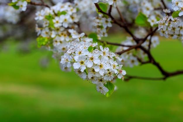 Blühendes cherry prunus avium, ukraine, osteuropa
