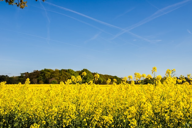 Blühendes feld des gelben rapssamens
