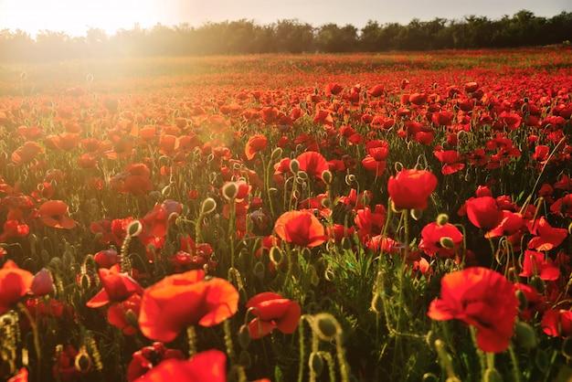 Blühendes feld von roten mohnblumen in den strahlen des sonnenuntergangs