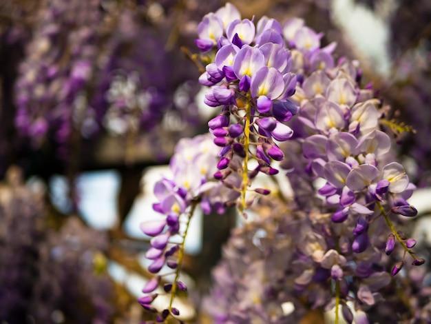 Blühendes glyzinieveilchen im freien. purpurrote blumen der glyzinie sinensis auf einem natürlichen hintergrund.