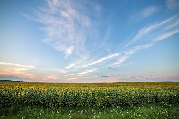 Blühendes helles gelbes reifes sonnenblumenfeld. landwirtschaft, ölförderung, schönheit der natur.