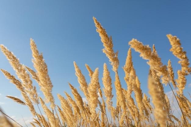 Blühendes holz kleines schilf calamagrostis epigejos gegen den blauen himmel